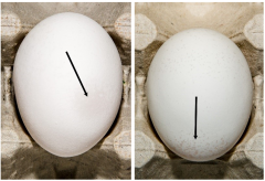 Figure 10. Example of Grade B eggs for shell thickness
